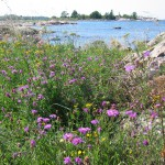 Många växter på Gräsö