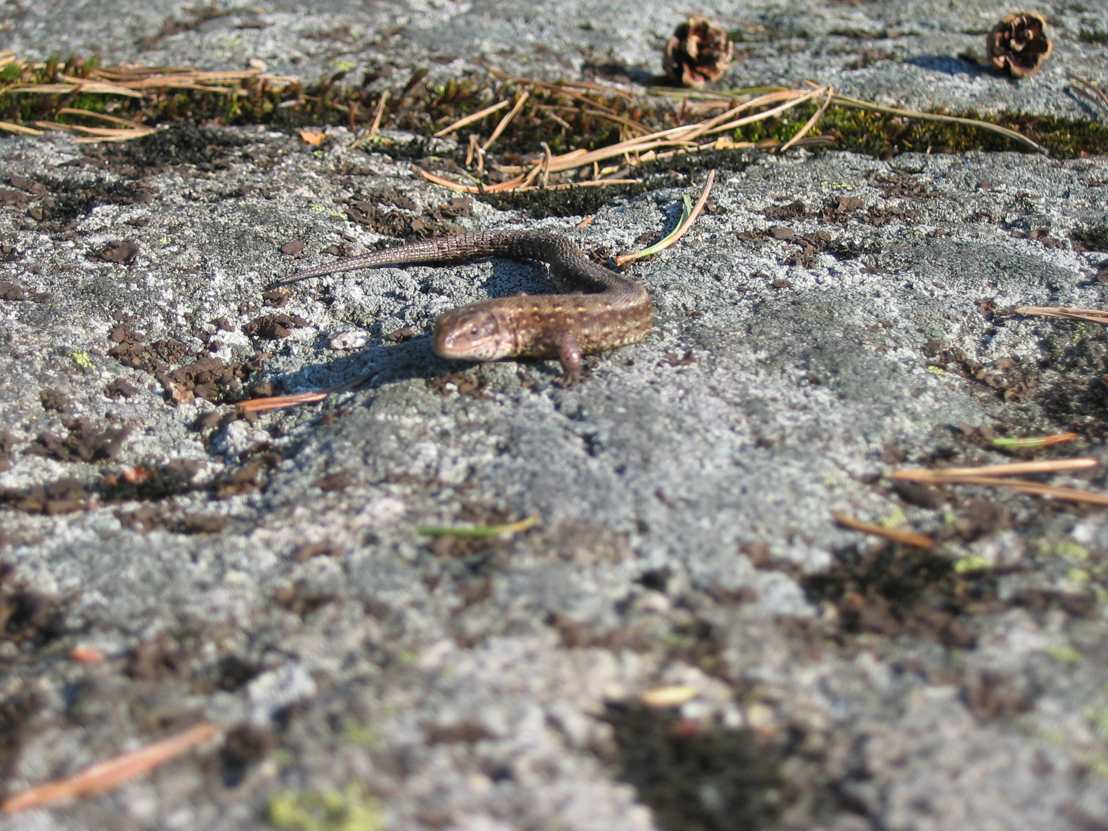 salamander ödla sverige