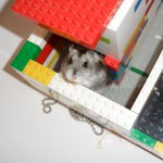 Min hamster Cokos!