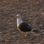 Tysk fågel