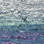 Flygande sjöfågel
