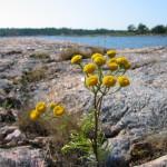 Strandväxt på Gräsö